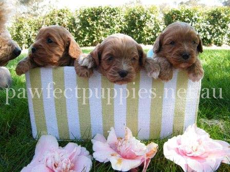 Pawfect Puppies
